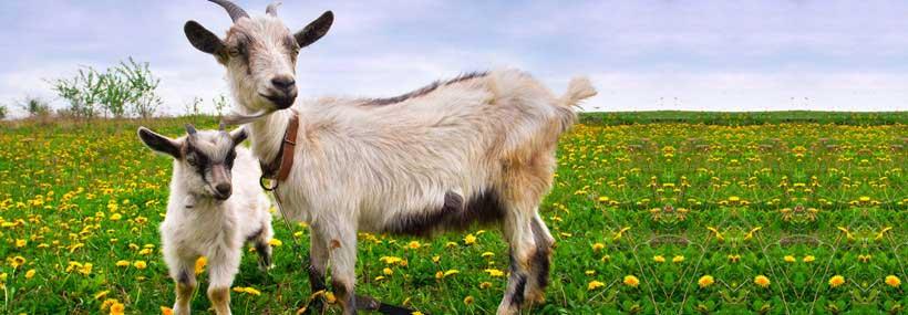goat-herd-testing-api