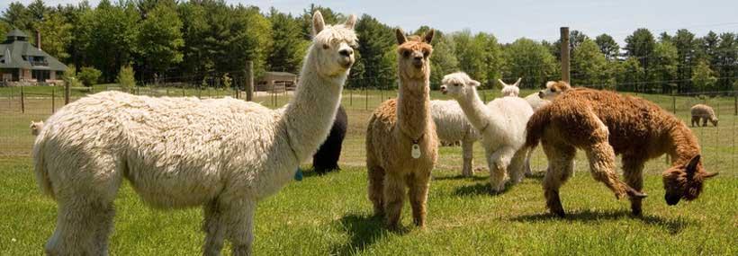 llama-alpaca-herd-testing-api